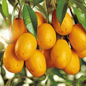 tropical fruits in portuguese caja