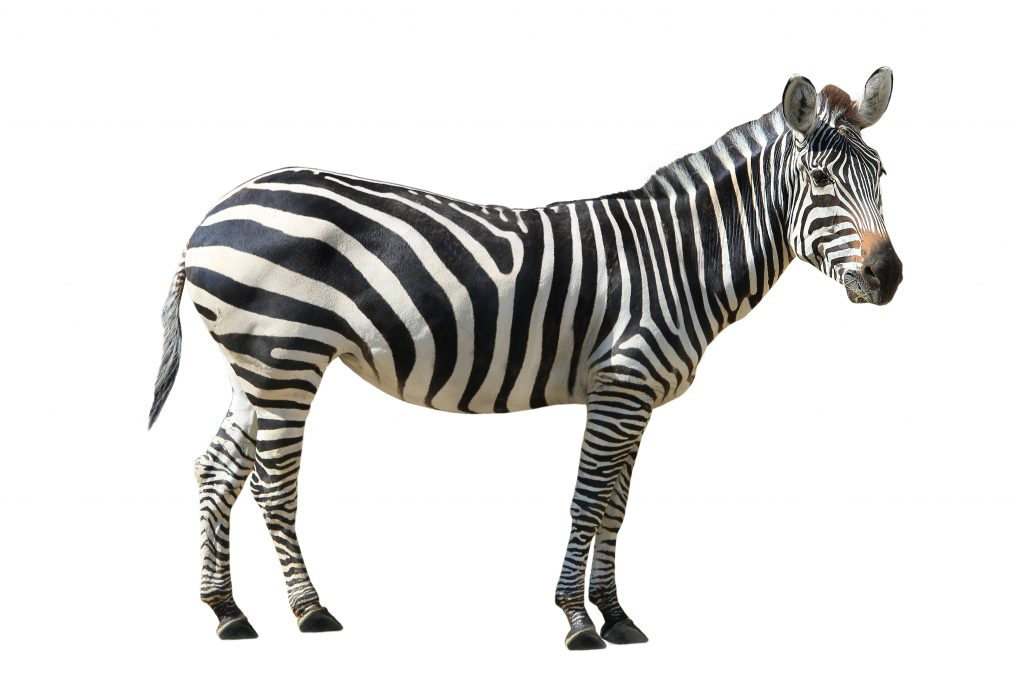 Colloquial Meaning of Zebra in Brazilian Portuguese