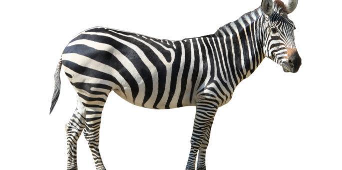 Colloquial Meaning of Zebra in Brazilian Portuguese