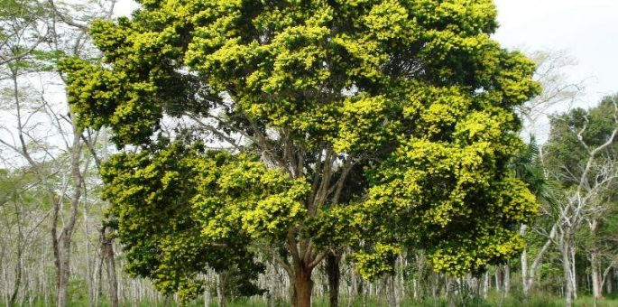 Brazilwood – What would Brazil be without it?